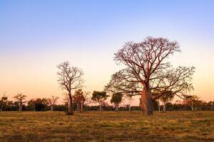Boab (aka Baobab tree)