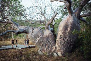 'Mermaid' boab tree